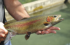 Psairer Fischtage